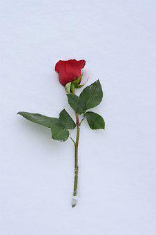 Red Rose In Snow, Love Symbol, True Love Never Dies