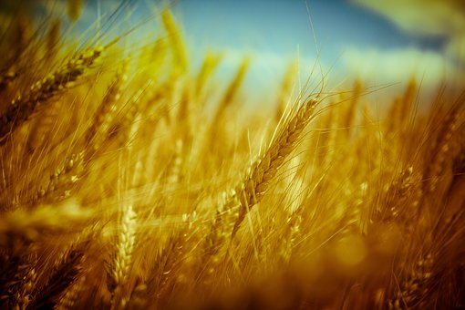 Wheat, Grain, Bread, Crop, Summer, Autumn, Nature, Gold