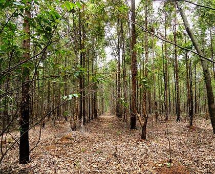 Wood, Nature, Tree, Landscape, Leaf, Eucalyptus, Green