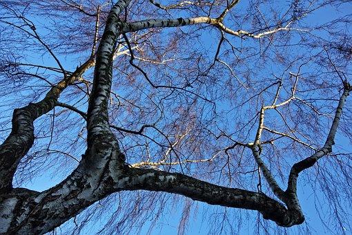 Birch Tree, Birch, Branch, Bare Tree, Winter Tree