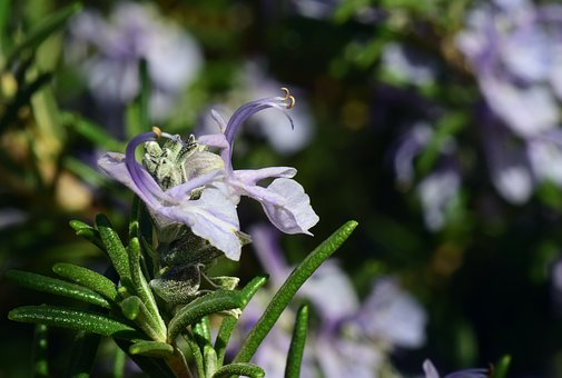 Rosemary, Blossom, Bloom, Purple, Small, Fragrance