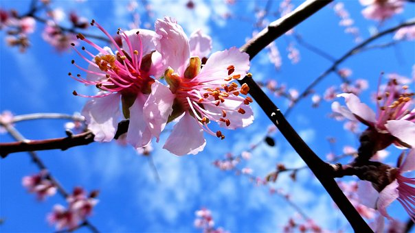 Nature, Tree, Almond Tree, Buds, Flower, Branch