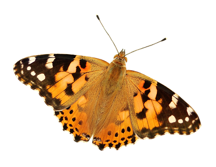 Butterfly Png, Butterfly Transparent Background