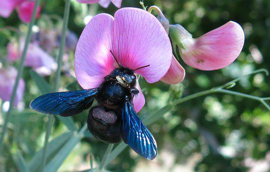 Carpenter Bee, Bee, Black Bee, Purple Wing, Close