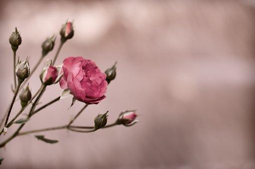 Flower, Nature, Flora, Outdoors, Closeup, Bud, Desktop