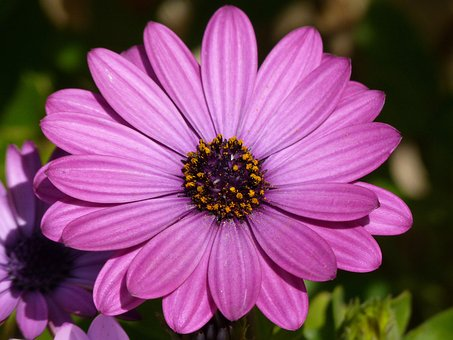 Flower, Daisy, Lilac, Pink, Magenta, Detail, Plant