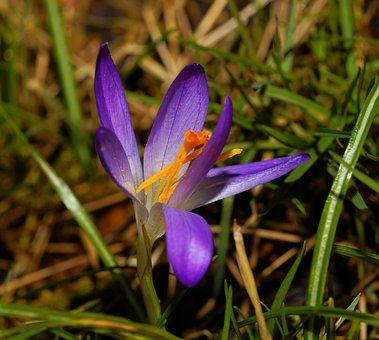 Flower, Blossom, Bloom, Crocus, Early Spring