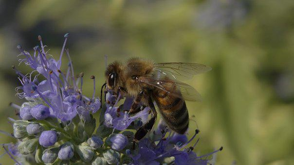 Nature, Bee, Insect, Flower, Pollination, Honey, Plant