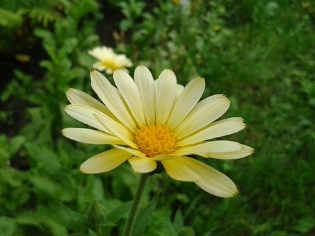 Garden Daisy, Flower, The Lone, Plant, Yellow