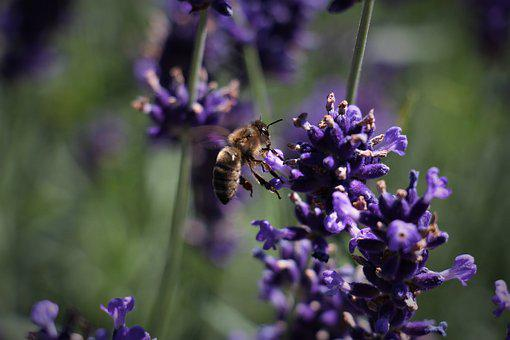 Flower, Nature, Plant, Bee, Lavender, Flowers