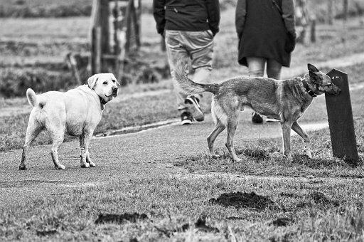 Dog, Mammal, Animal, Canine, Pet, Labrador, Pedigree