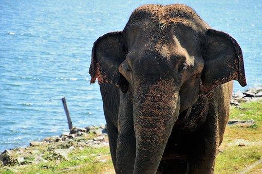 Elephant, Nature, Huge, Ears