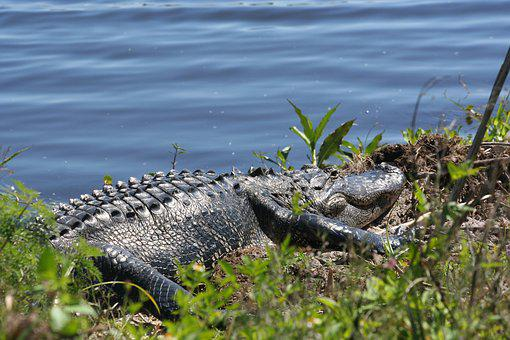 Reptile, Nature, Water, Wildlife, Animal, Florida
