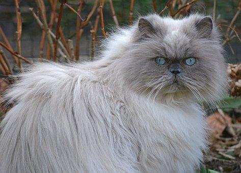Cat, Blue Eye, Animal, Portrait, Mammal, Cute, Pet