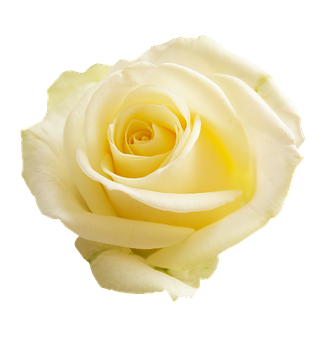 Rose, Apg, Transparent Background, Flowers, Flower