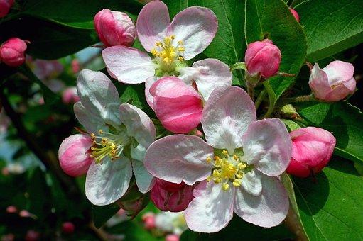 Flower, Apple, Sprig, Nature, Plant, Garden, Leaf