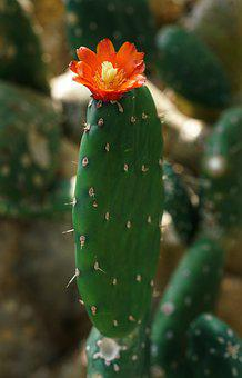 Cactus, Flower, Red, Yellow, Spine, Nature, Prickly