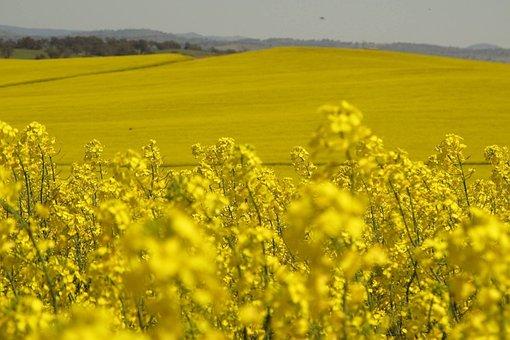 Field, Agriculture, Landscape, Crop, Flower, Oilseed