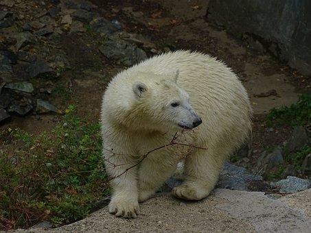 Polar Bear, Cub, Cute, Zoo, Branch, Animal