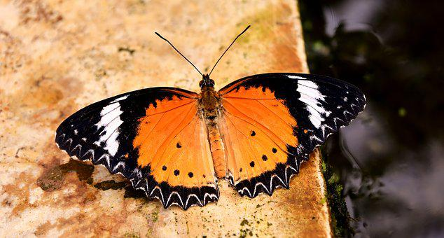 Butterfly, Orange, Probe, Nature, Insect, Animal, Wing