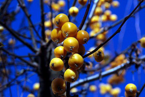 Tree, Nature, Season, Fruit, Fruits, Bush, Winter