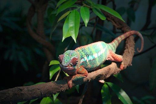 Wildlife, Nature, Rainforest, Tree, Tropical, Chameleon