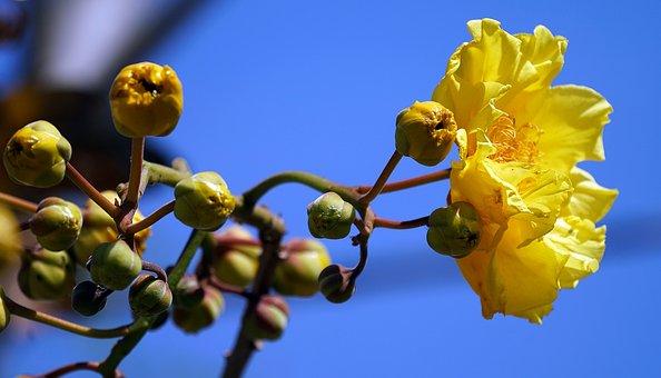 Cochlospermum Regium, Yellow Cotton Tree, Yellow