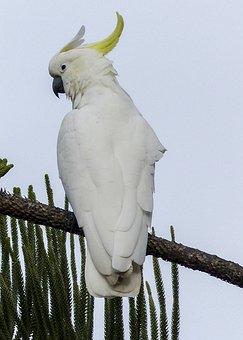Cockatoo, White, Yellow, Bird, Intelligent, Smart