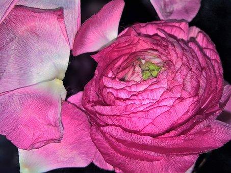 Flower, Ranunculus, Single Bloom, Pink, Blossomed