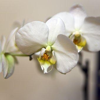 Flower, Flora, Petal, Phalaenopsis, Tropical, Delicate