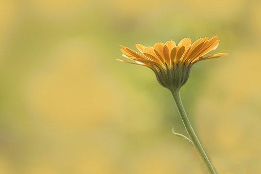 Marigold, Flower, Nature, Flora, Summer, Growth