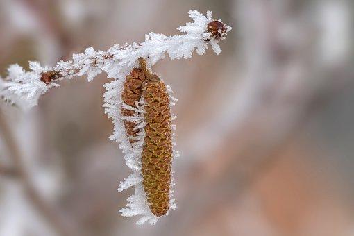 Hoarfrost, Ice, Ice Crystal, Frost, Hazel Flower