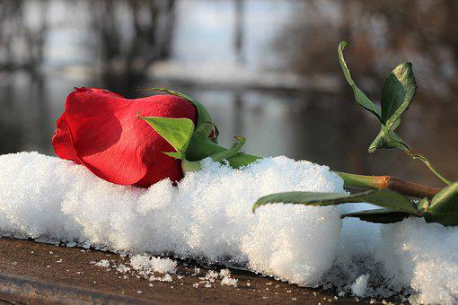 Red Rose On Bridge Fence, Snow, Love Symbol, Romantic
