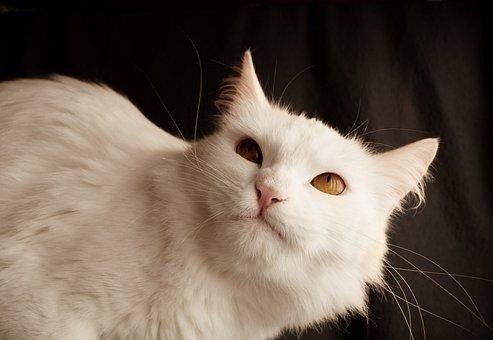 Cat, Cute, Animal, Pet, Mammal, Mean, Grumpy