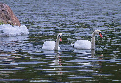 Swans, Water, The Birds, Nature, The Finnish Nature