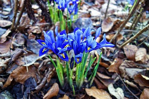 Nettled Iris, Flower, Plant, Iris Reticulata, Blossom