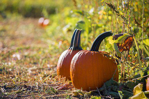 Nature, Fall, Agriculture, Leaf, Outdoors, Pumpkin