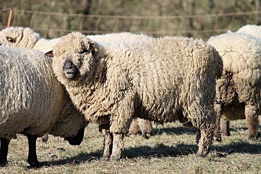 Sheep, Wool, Wool Sheep, Fur, Pasture, Winter, Animals