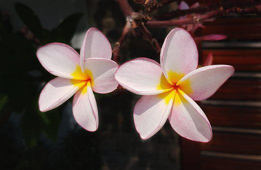 Plumeria, Flower, Frangipani, Pink, White, Petal