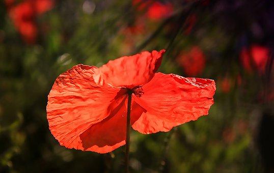 Poppy, Flowers, Spring, Red, Wild Flower, Fields