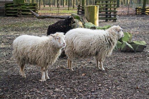 Farm, Sheep, Agriculture, Mammal, Livestock, Baby Sheep