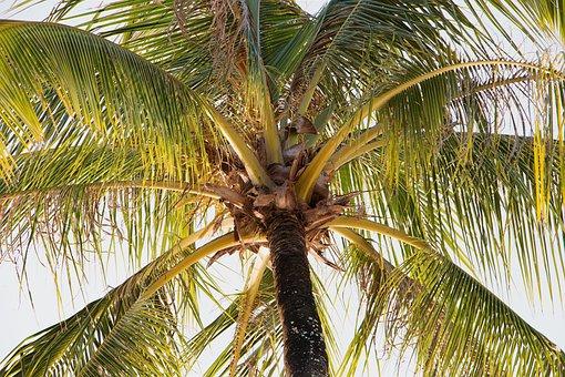 Palm, Tropical, Tree, Beach, Coconut, Nature, Summer