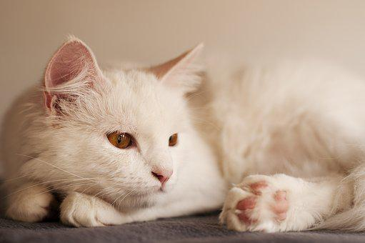 Cute, Cat, Animal, Kitty, Little, Adorable, White