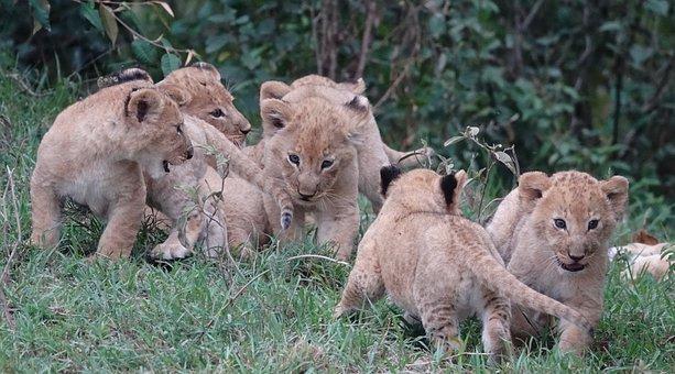 Wildlife, Mammal, Nature, Animal, Cat, Lions, Cubs