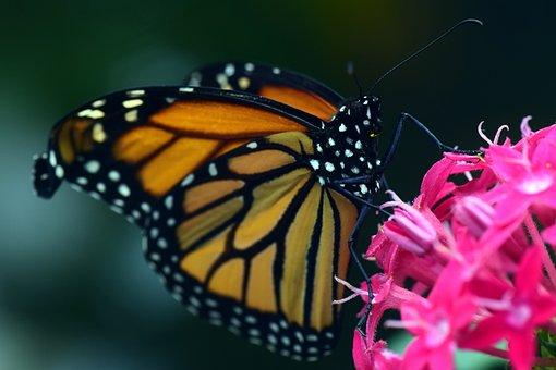 Monarch, Danaus Plexipplus, Butterfly, Insect, Wing