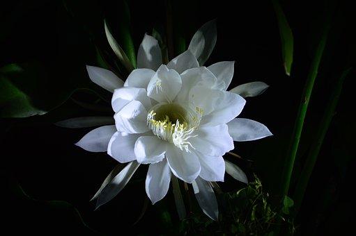 Epiphyllum, Bloom, Beautiful