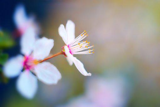 Spring, Blossom, Bloom, Cherry Blossom, Nature, Flower