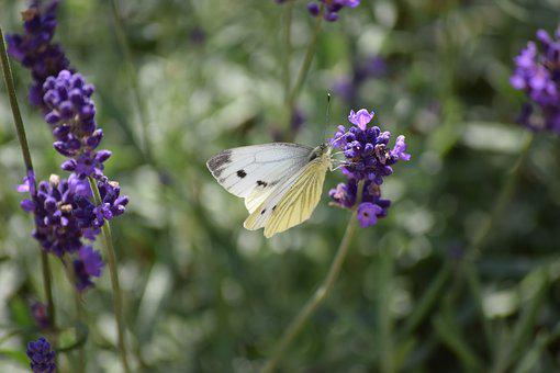 Flower, Nature, Plant, Butterfly, Insect, Lavender