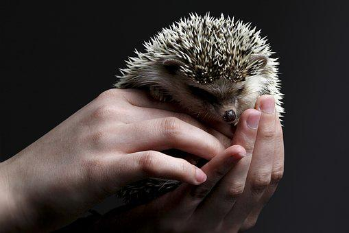 Hedgehog, Cute, Hand, Spur, Prickly, Sting, Chestnut