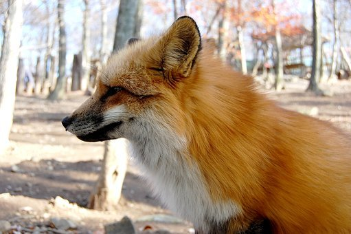 Mammal, 犬科, Dog, Fox, Any Person Not, Outdoors, Cute